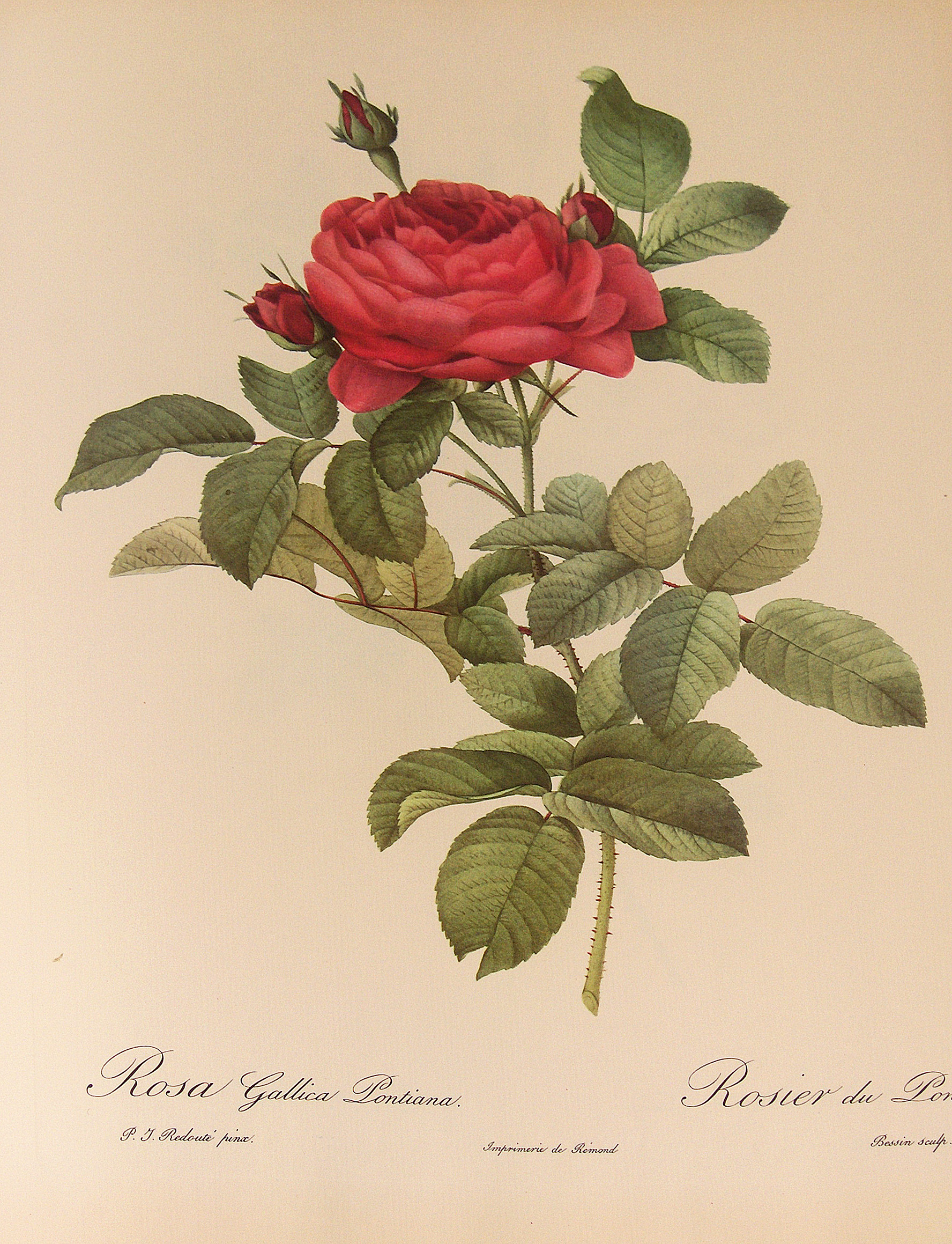 portrait of old rose Gallica