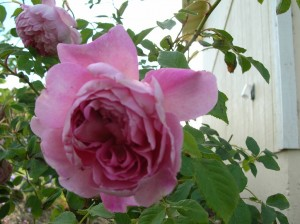 The Ingenious Mr Fairchild shrub rose