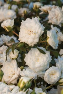 White Drift Rose Meizorland_300x448