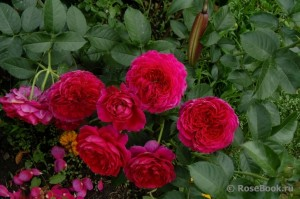 soul variety of roses