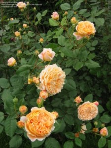 CROWN PRINCESS MARGARETA_300x400