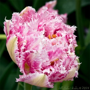 Cool Crystal Tulip