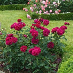 bush of DARCEY BUSSELL