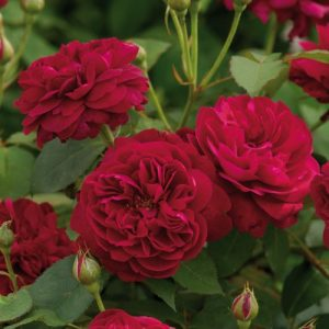 rose flower DARCEY BUSSELL