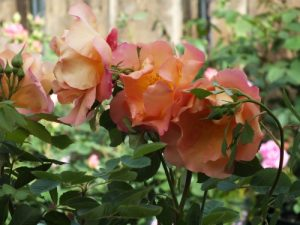 FIGHTING TEMERAIRE english rose