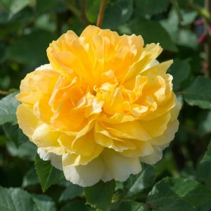 MOLINEUX english rose