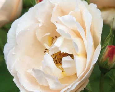The Prioress rose
