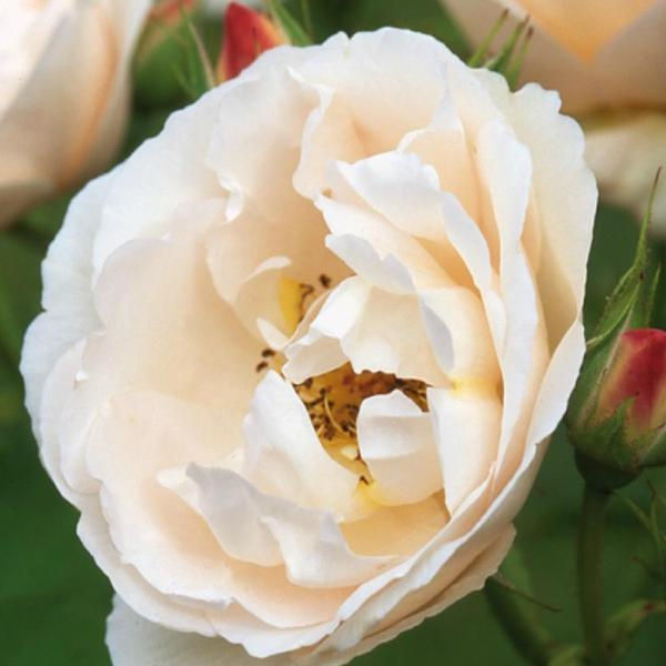 The Prioress English rose